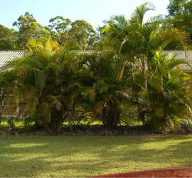 Areca Palm Trees For Sale Cape Coral