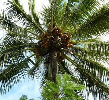 Coconut Palm Trees For Sale Cape Coral