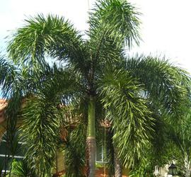 Foxtail Palm Trees For Sale Cape Coral