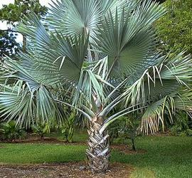 Silver Bismarck Palm Trees For Sale Cape Coral